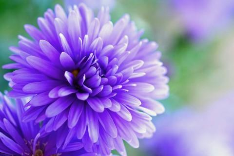 Mum violet